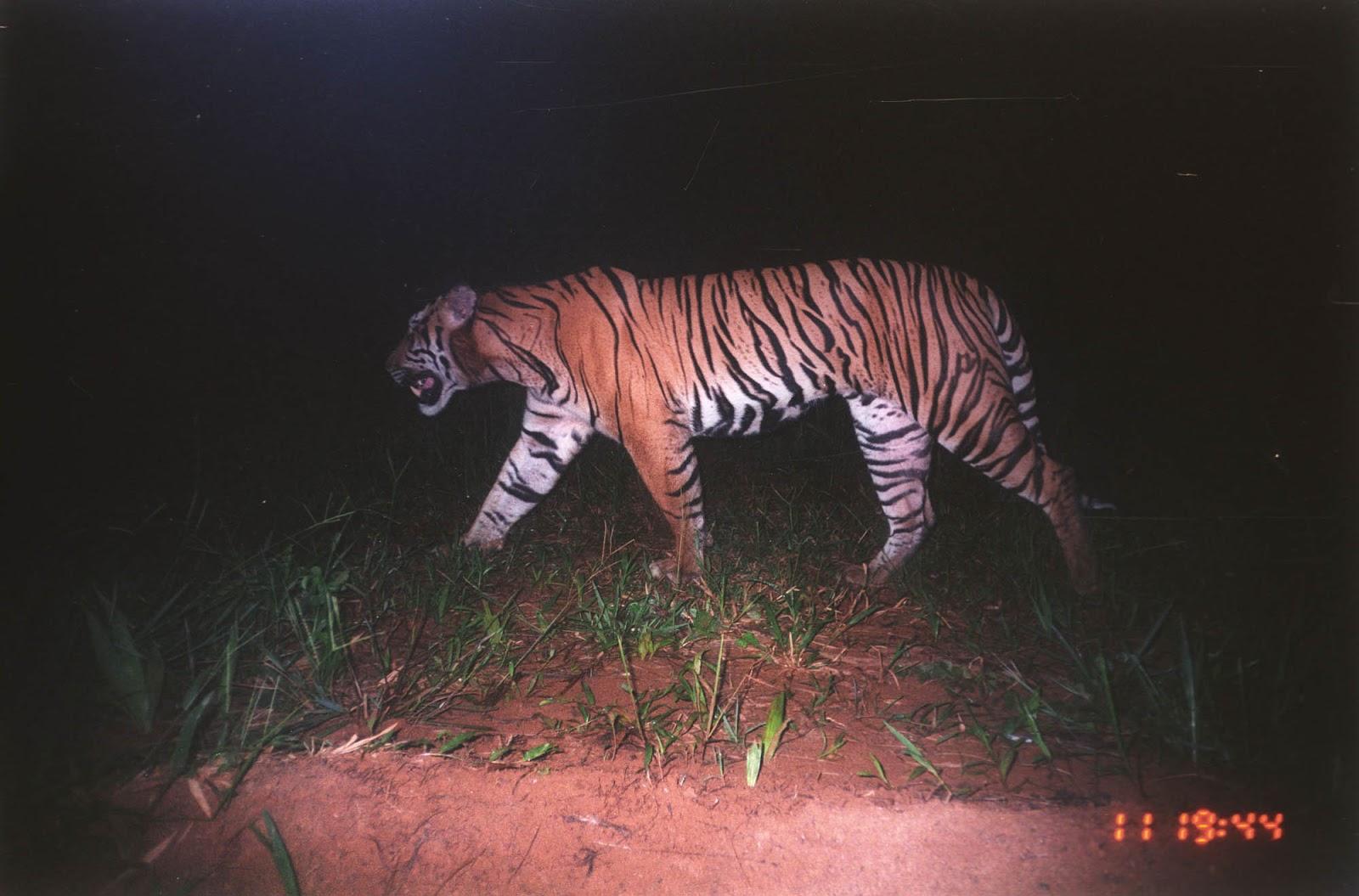sumaterský tygr na fotopasti